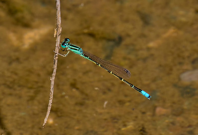 Mexican Forktail, Ischnura demorsa, male, Spur Cross Recreation Area, Maricopa County