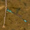 Mexican Forktail, Ischnura demorsa, male, Spur Cross Recreation Area, Maricopa County