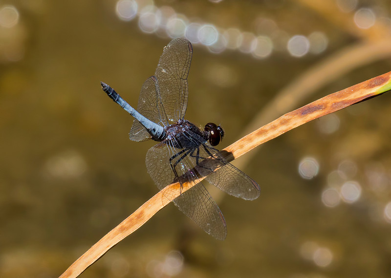 Plateau Dragonlet, Erythrodiplax basifusca, male, Spur Cross Recreation Area, Maricopa County