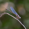 Dusky Dancer, Argia translata, female, Spur Cross Recreation Area, Maricopa County