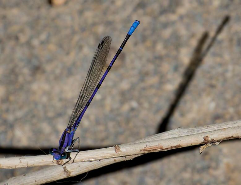 Springwater Dancer, Argia plana, male, Spur Cross Recreation Area, Maricopa County