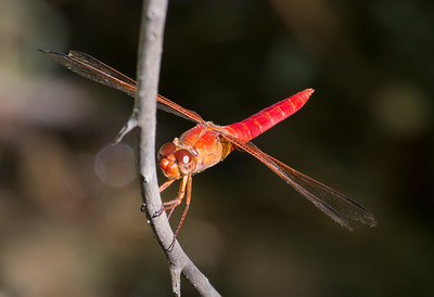 Neon Skimmer, Libellula croceipennis, male, Spur Cross Recreation Area, Maricopa County