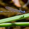 Blue-ringed Dancer, Argia sedula, male, Spur Cross Recreation Area, Maricopa County