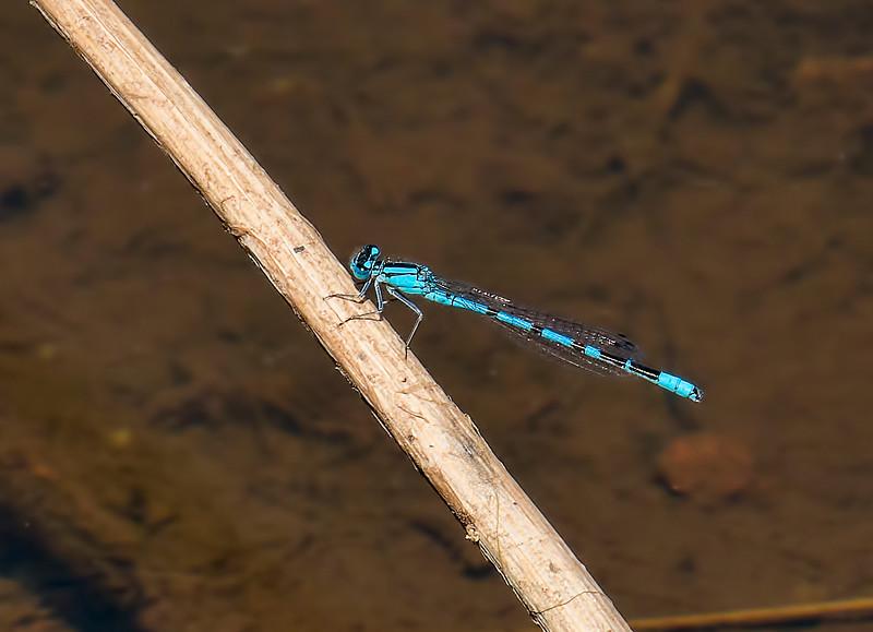 Northern Bluet, (Enallagma annexum), male, McNary