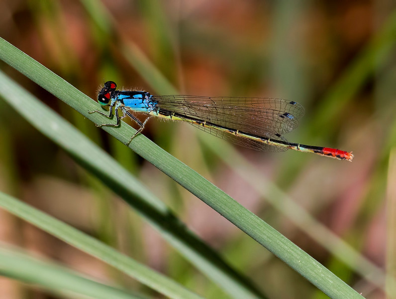 Painted Damsel, (Hesperagrion heterodoxum), male, Muleshoe Ranch