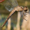 Plateau Dragonlet, (Erythrodiplax basifusca), female, McNary - FIRST COUNTY RECORD