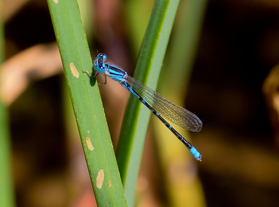 Arroyo Bluet, Enallagma praevarum, male, Spur Cross Recreation Area, Maricopa County