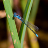 Arroyo Bluet, Enallagma praevarum, male, Spur Cross Recreation Area, Maricopa County