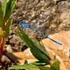 California Dancer, Argia agrioides, male, Spur Cross Recreation Area, Maricopa County