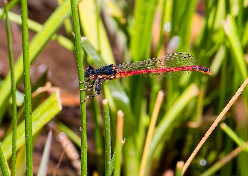 Western Red Damsel, (Amphiagrion abbreviatum), male, Bog Tank