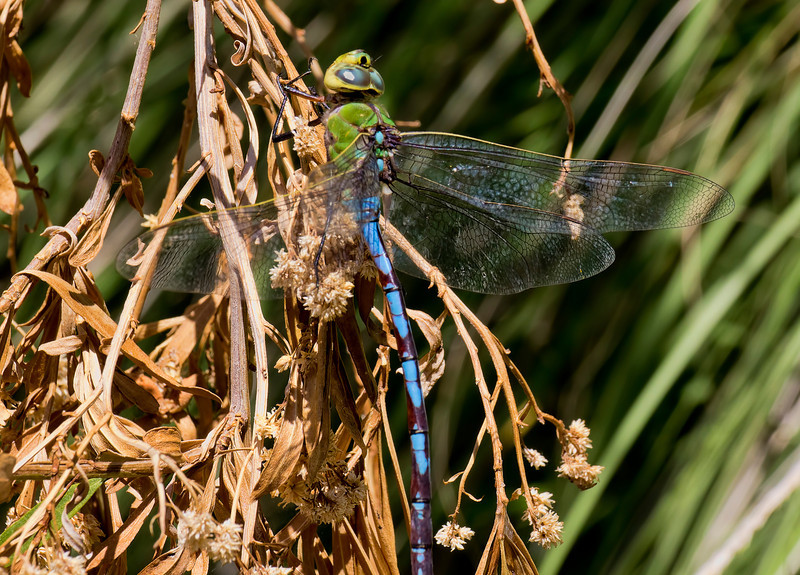 Giant Darner, Anax walsinghami, male, Spur Cross Recreation Area, Maricopa County (posed)