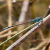 Plains Forktail, (Ischnura damula), male, Becker Lake