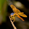 Mexican Amberwing, Perithemis intensa, male, Spur Cross Recreation Area, Maricopa County