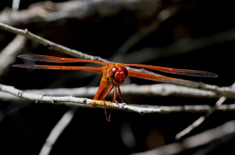 Flame Skimmer, Libellula saturata, male, Spur Cross Recreation Area, Maricopa County