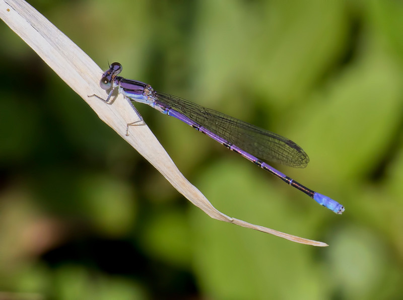 Lavender Dancer, Argia hinei, male, Spur Cross Recreation Area, Maricopa County