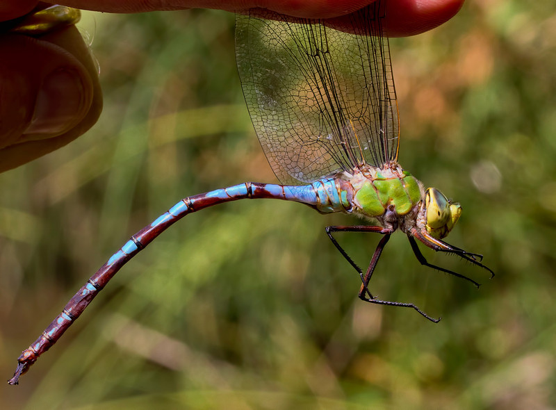 Giant Darner, Anax walsinghami, male, Spur Cross Recreation Area, Maricopa County