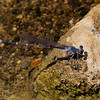 Sooty Dancer, Argia lugens, male, Spur Cross Recreation Area, Maricopa County