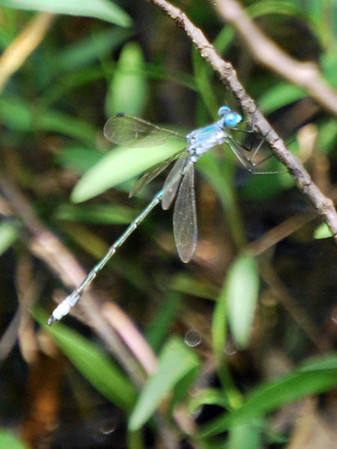 Amber-winged Spreadwing, Lestes eurinus