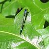 Female Azure Bluet