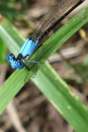 Blue-fronted Dancer (Argia epicalis)