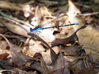 Blue-ringed Dancer (Argia sedula)