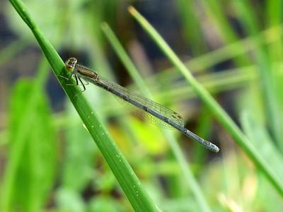 Citrine Forktail (Ischnura hastata)