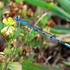 Double-striped Bluet (Enallagma basidens); male; Lake Cheston