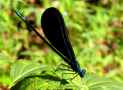Ebony Jewelwing (Calopteryx maculata); male; Abbo's Alley