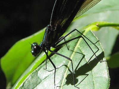Black-winged Damselfly, Calopteryx maculata