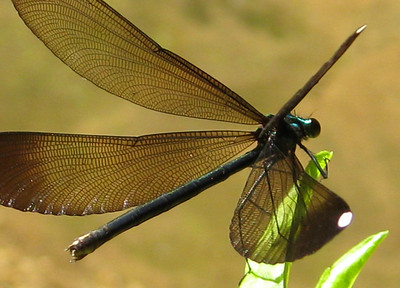Ebony Jewelwing (Calopteryx maculata); female; Abbo's Alley