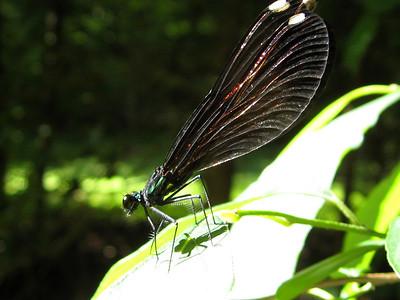 Black-winged Damselfly, Calopteryx maculata; Ebony Jewelwing