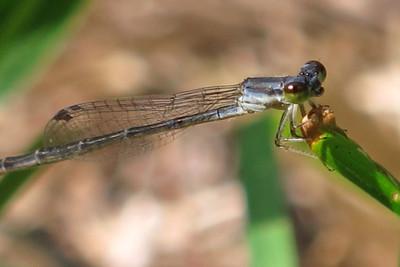Fragile Forktail (Ischnura posita), Cedar Hollow Lake, female