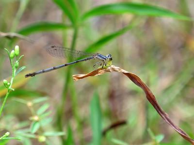 Fragile Forktail (Ischnura posita); female; Cedar Hollow Lake
