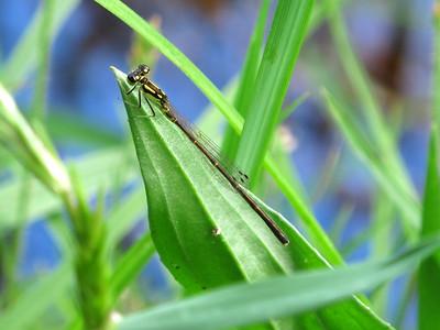 Fragile Forktail (Ishnura posita); male; Lake Cheston