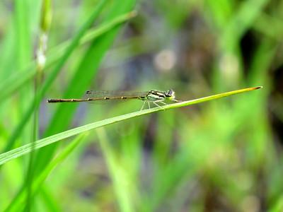Fragile Forktail (Ishnura posita), Lake Cheston, male