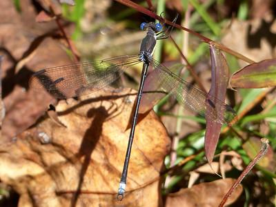 Great Spreadwing (Lestes grandis)
