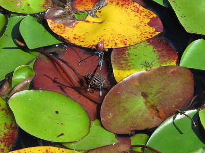Lilypad Forktail (Ischnura kellicotti); mature male; Lake Dimmick