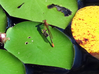 Lilypad Forktail (Ischnura kellicotti); immature female; Lake Dimmick
