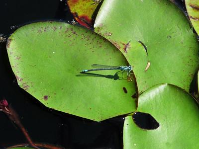 Lilypad Forktail (Ischnura kellicotti); mature female