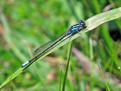 Skimming Bluet (Enallagma geminatum)