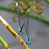Slender Bluet (Enallagma traviatum); male and female; Lake Cheston