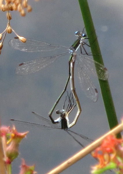 Swamp Spreadwing (Lestes vigilax); mating wheel; Lake Cheston