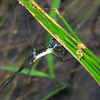 Swamp Spreadwing (Lestes vigilax), Lake Cheston