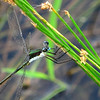 Swamp Spreadwing (Lestes vigilax); mature male; Lake Cheston