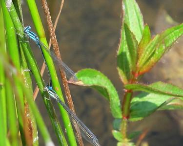 Turquoise Bluets (Enallagma divagans),  Lake Cheston