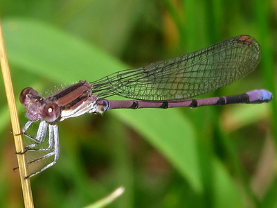 Violet Dancer (Argia fumipennis, Violacea), Lake Cheston
