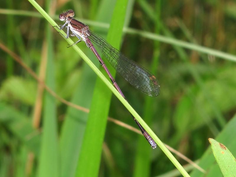 Violet Dancer (Argia fumipennis, Violacea), Lake Cheston