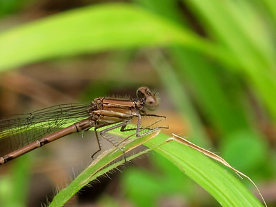 Violet Dancer (Argia fumipennis, Violacea), Lake Cheston, female