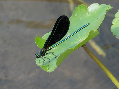 Ebony Jewelwing (Calopteryx maculata), male