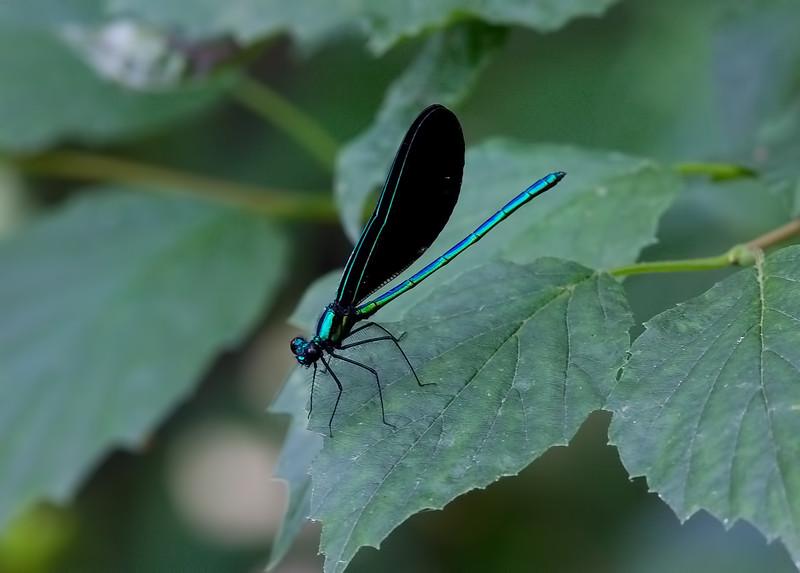 Male, Lum's Pond State Park